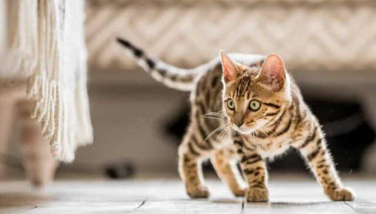 gato híbrido Bengala