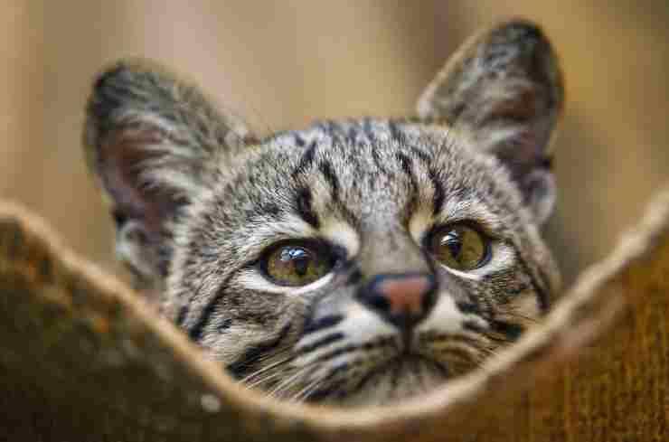 gatos híbridos Safari