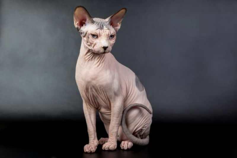 gato havaiano sin pelo Kohana