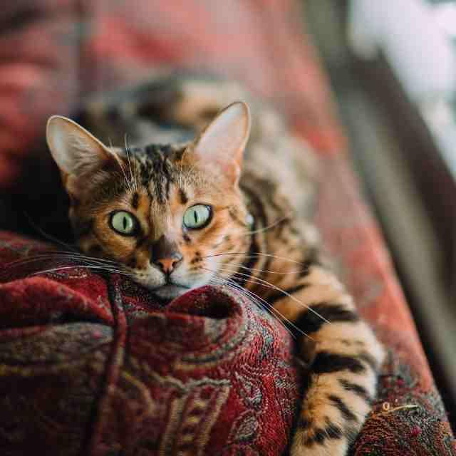 gatos híbridos salvajes