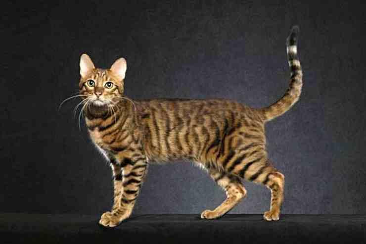 gatos híbridos Serengeti