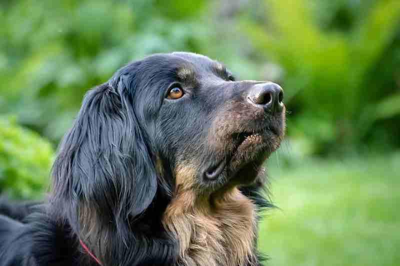 mirada de un perro hovawart