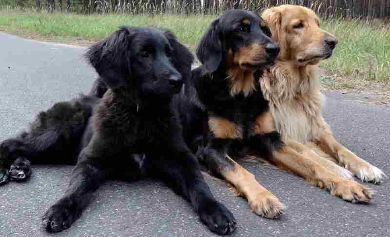 perros hovawart negro, dorado, negro y dorado