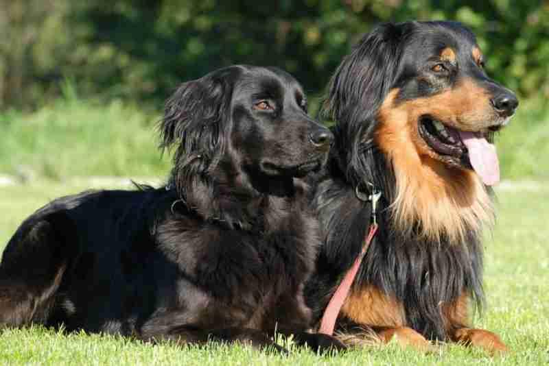 Hovawart perros