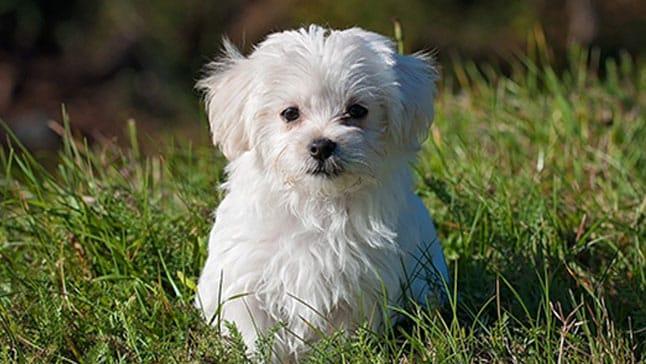 Perros que no crecen bichón maltés