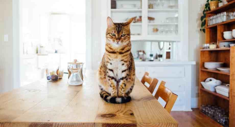 nutricion para gatos con diabetes