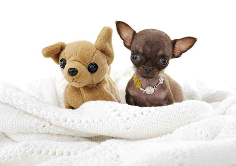perro más pequeño del mundo Chihuahua Milly