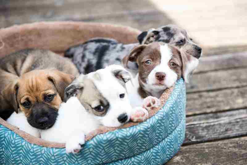Perros mestizos cachorros