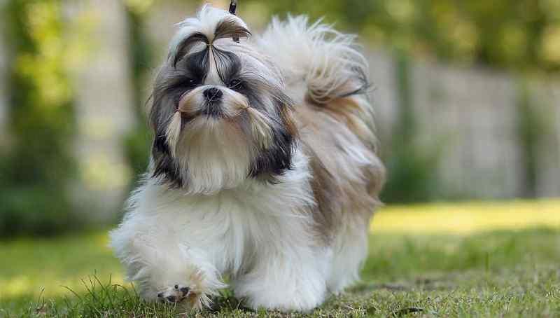 Perros pequeños que no crecen ShihTzu