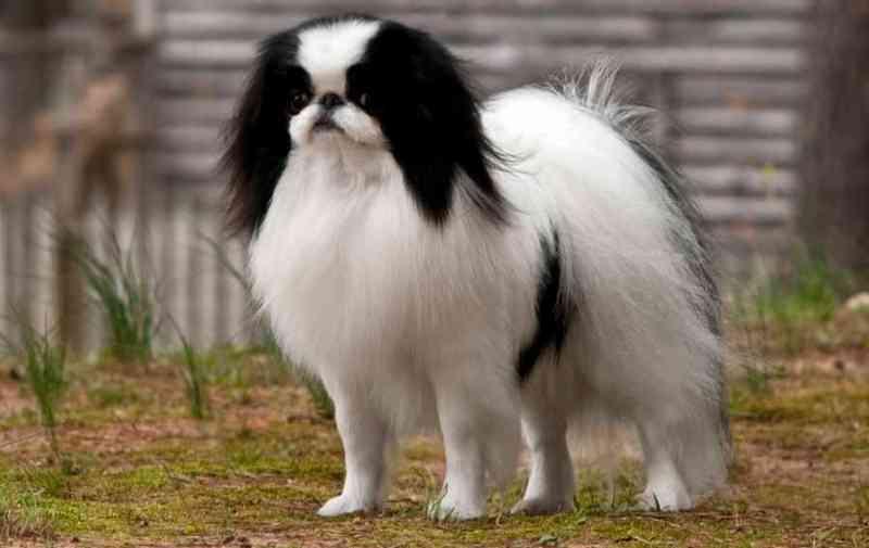 perros pequeños Chin Japonés
