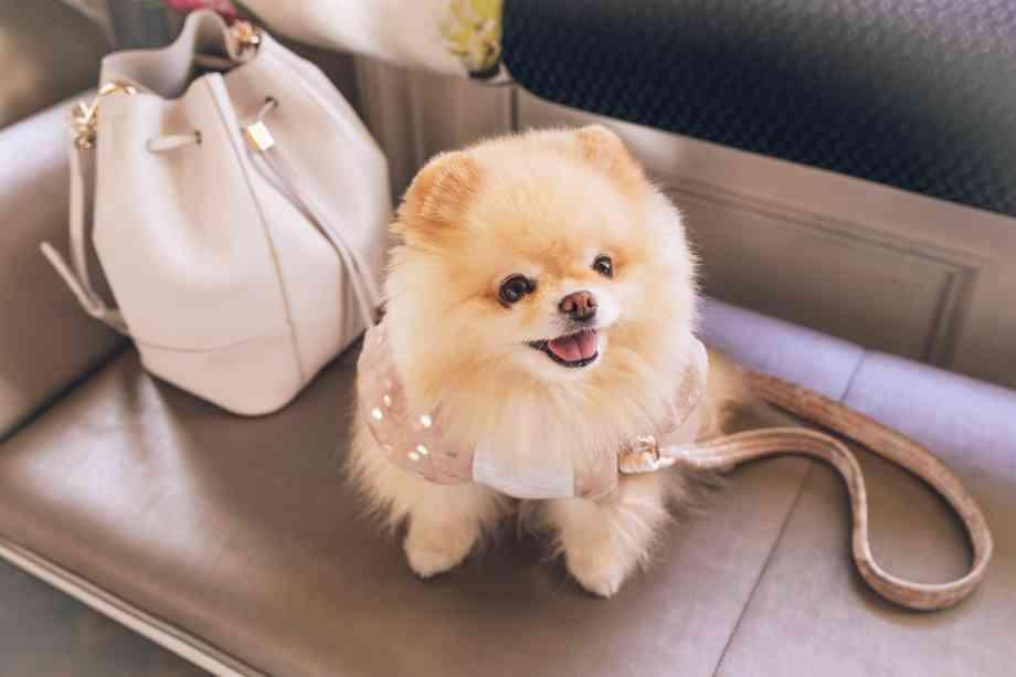 perros pequeños que no crecen Pomerania