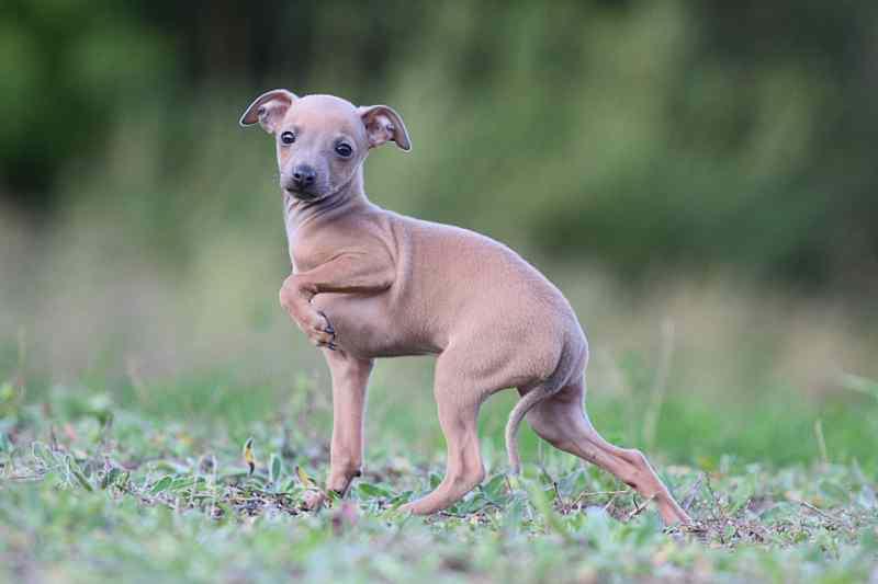 Perros que no crecen Lebrel Italiano