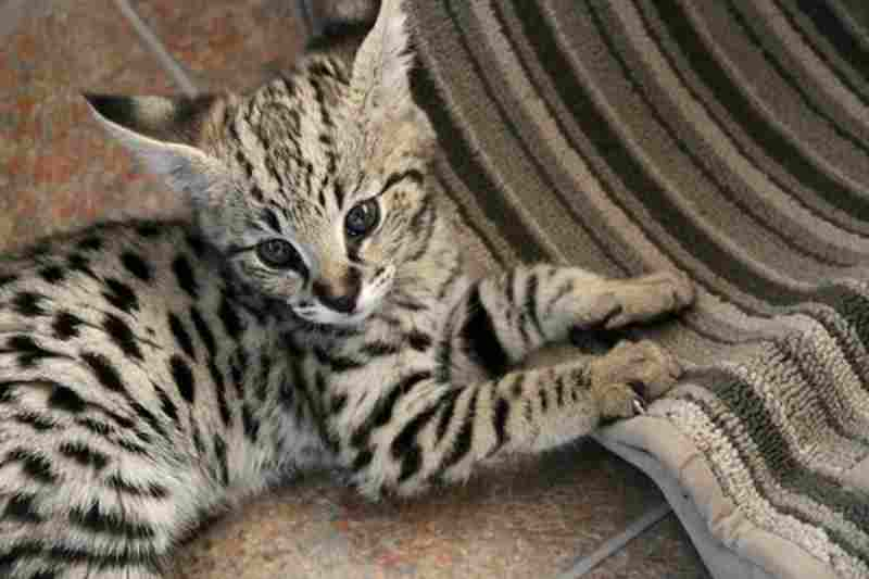 gatos híbridos raza Savannah
