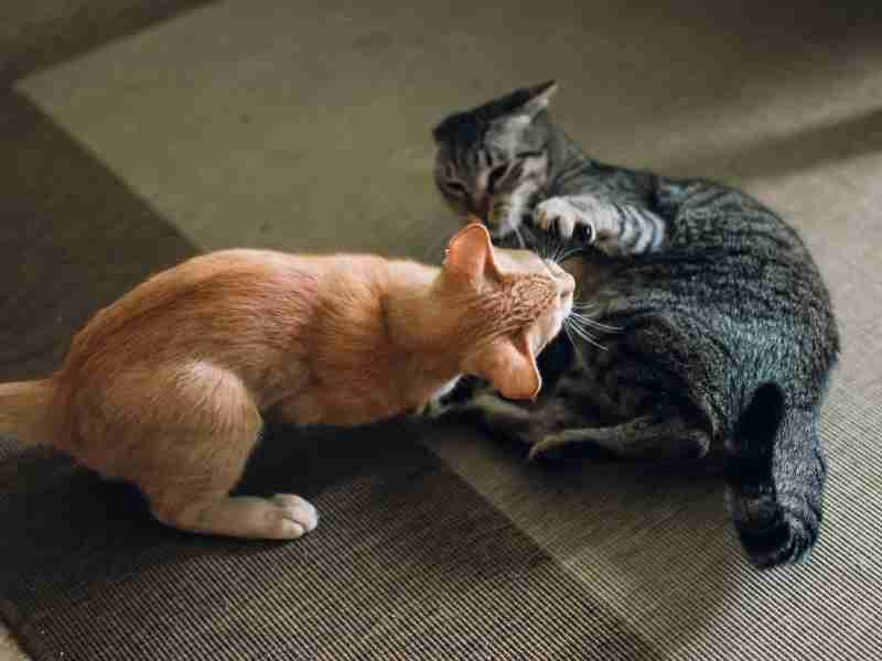 sintomas estres en gatos