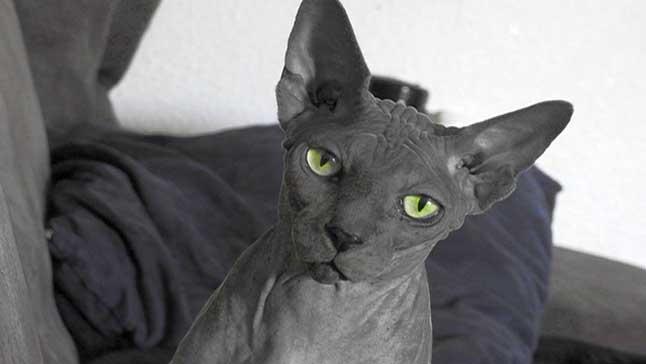 esfinge gatos sin pelo sphynx