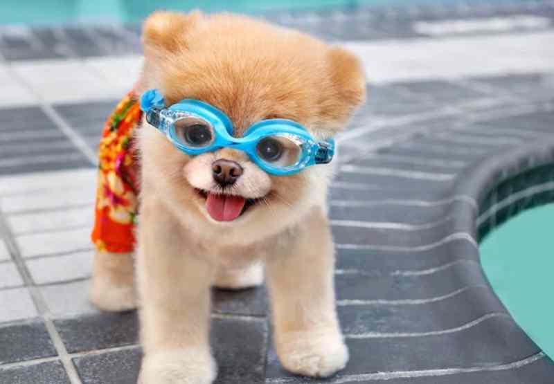 Boo perro pomerania