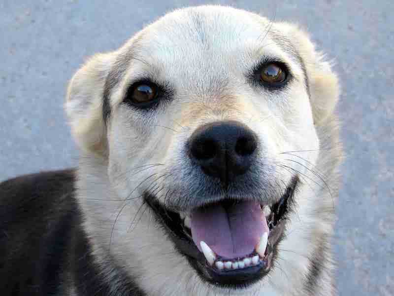 gingivitis en perro higiene bucal