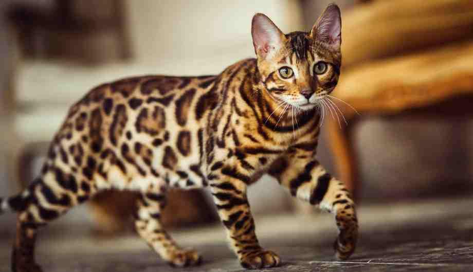 bengala gato hipoalergenico