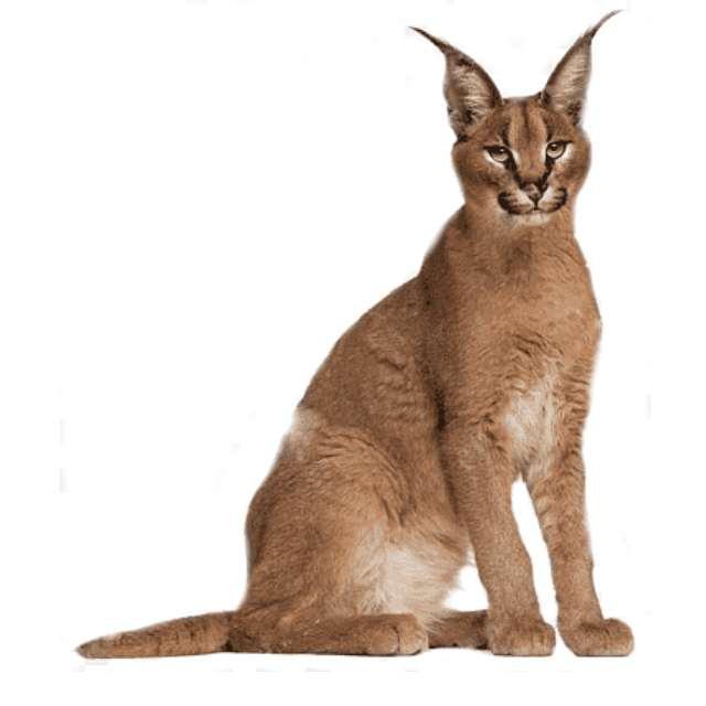 caracat gato