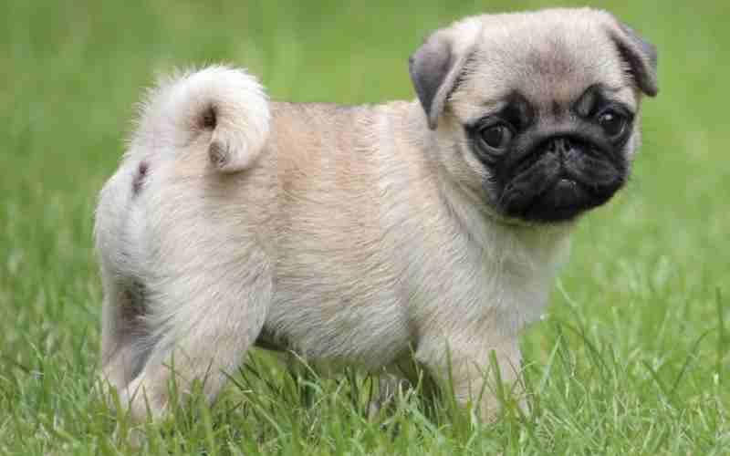 carlino cachorro