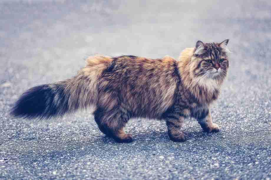 gato atigrado pelo largo