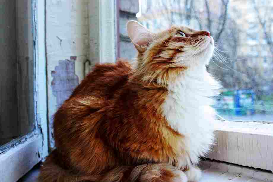 gato domestico de pelo largo color naranja