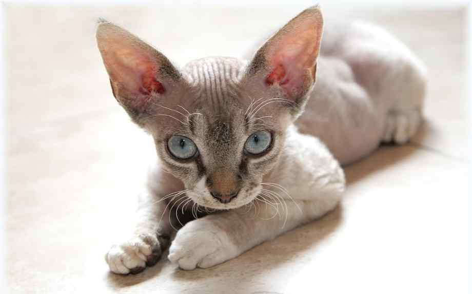 gato hipoalergenico cornish rex
