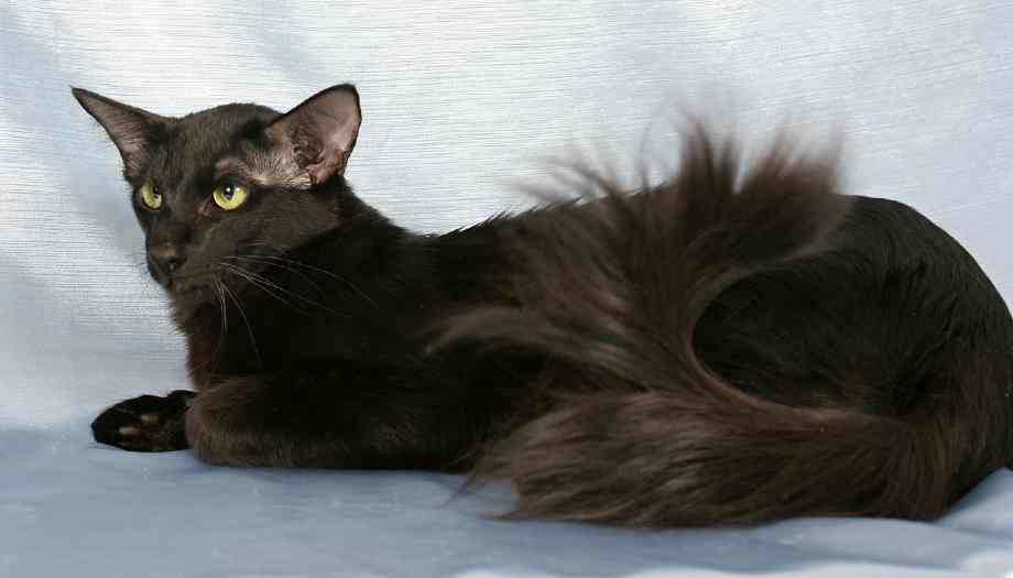 gato oriental hipoalergenico