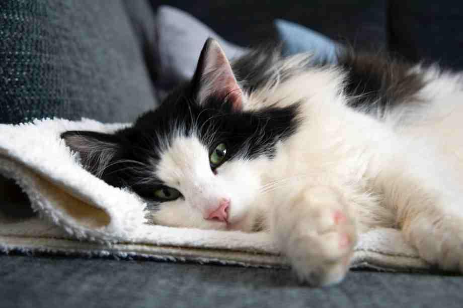 gato doméstico de pelo largo bicolor