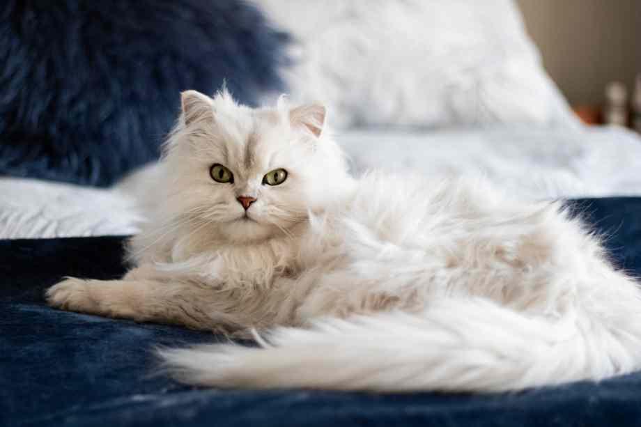 gato pelo largo patron pelaje solido blanco