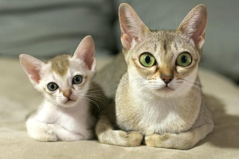 gatos singapura con gatito