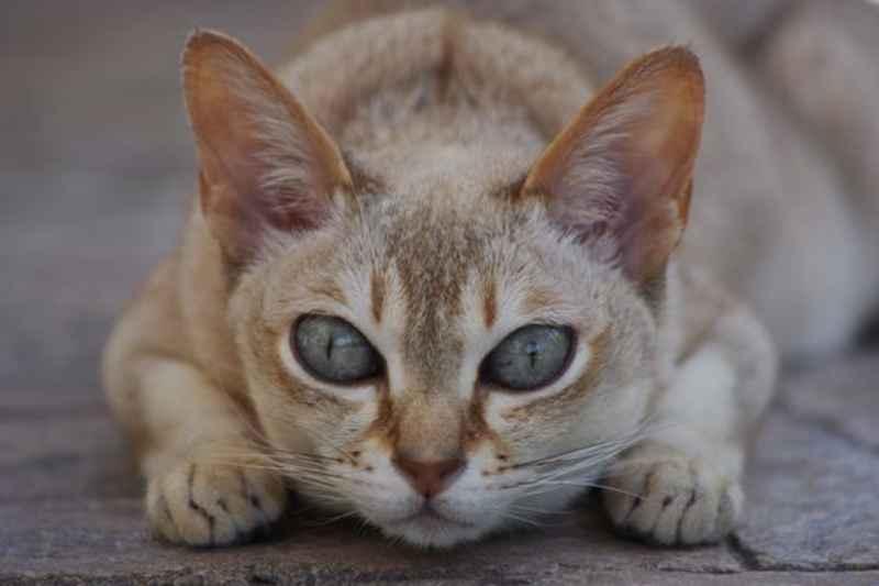 gato singapura acostado
