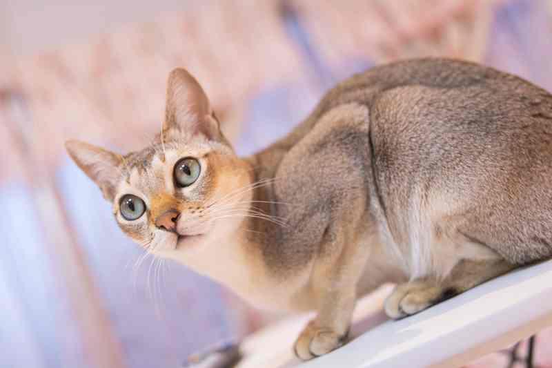 gato singapura adulto