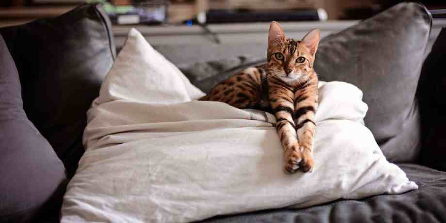 toyger gato tigre