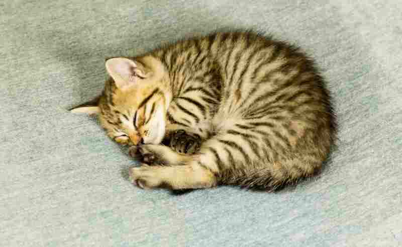 gatito toyger durmiendo