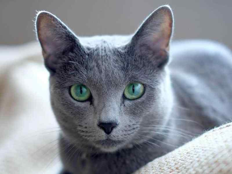 gatos hipoalergenicos azul ruso