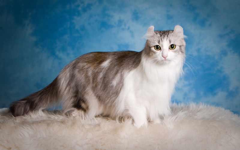 gatos de pelo largo curl americano