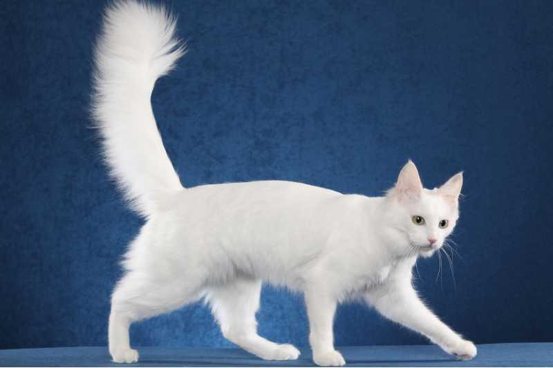 gatos de pelo largo angora turco