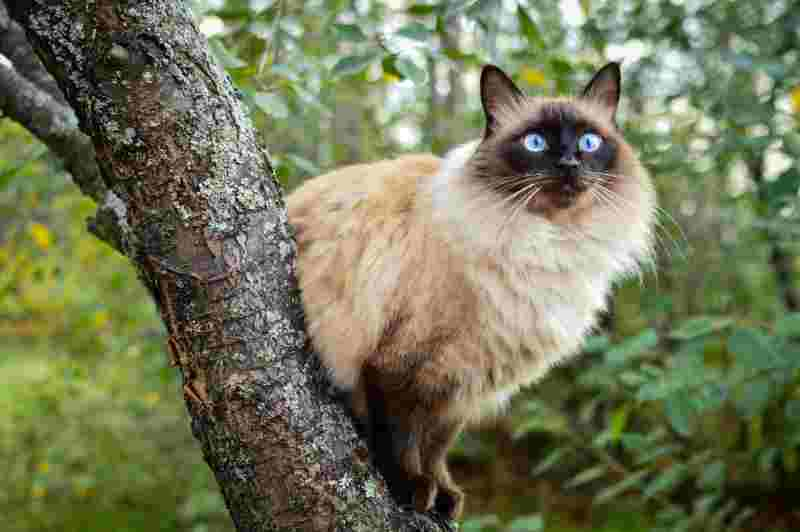 gatos de pelo largo blinés