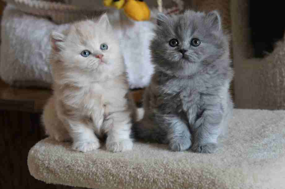 gatos de pelo largo  British longhair