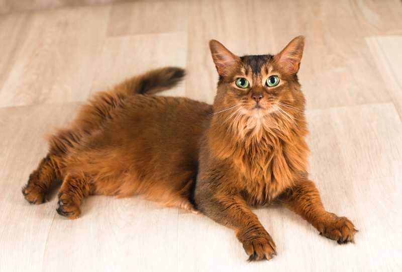 gatos de pelo largo somalí