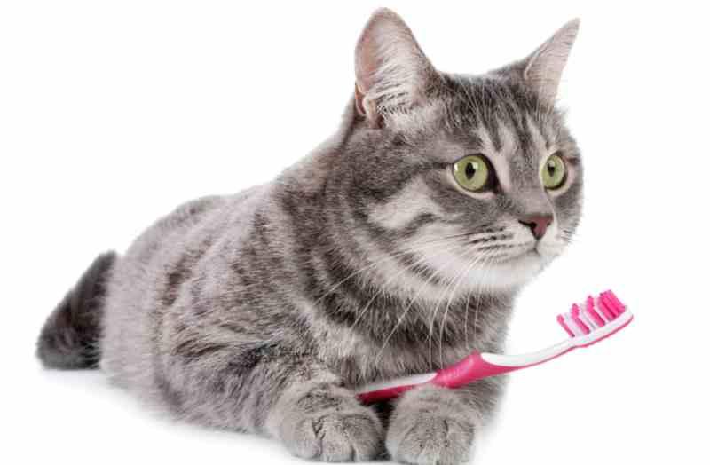 gingivitis en gatos cepillo dental