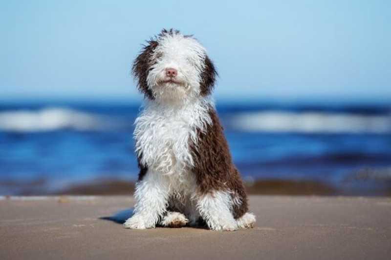 perro de agua español blanco y marron