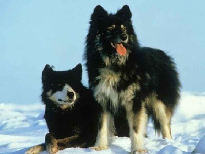 perros japoneses karafuto ken