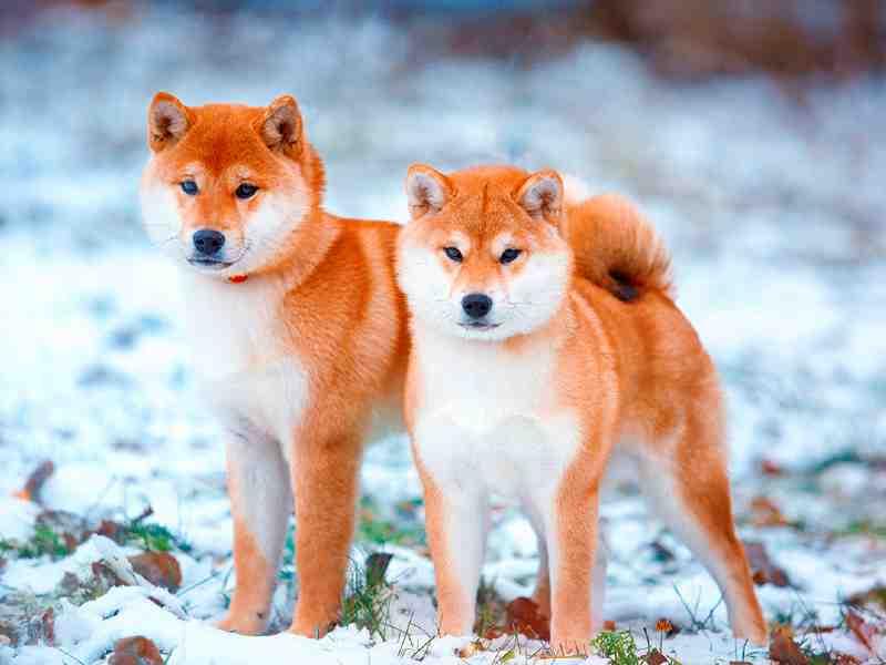 perros japoneses shiba uno