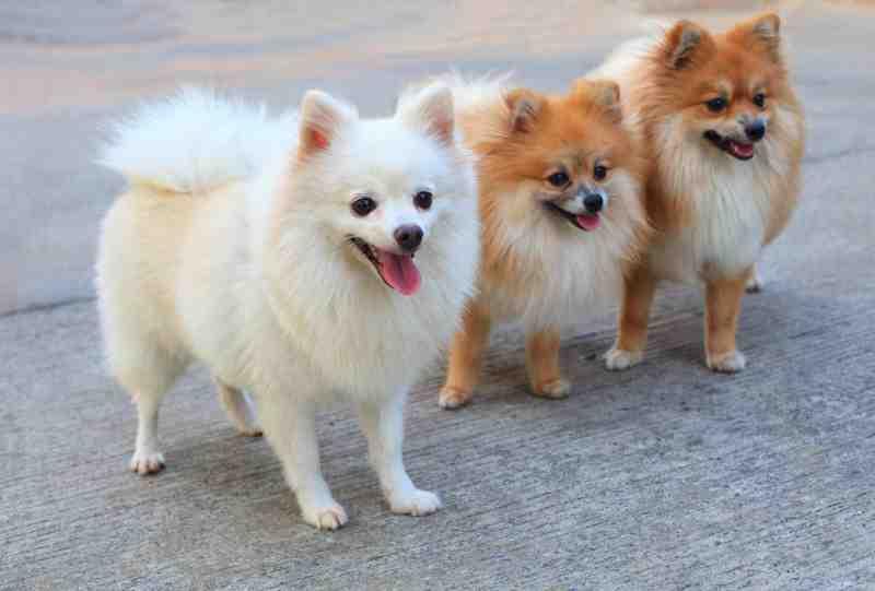 perros pomerania raza