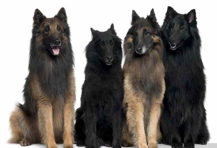 tipos perros belgas