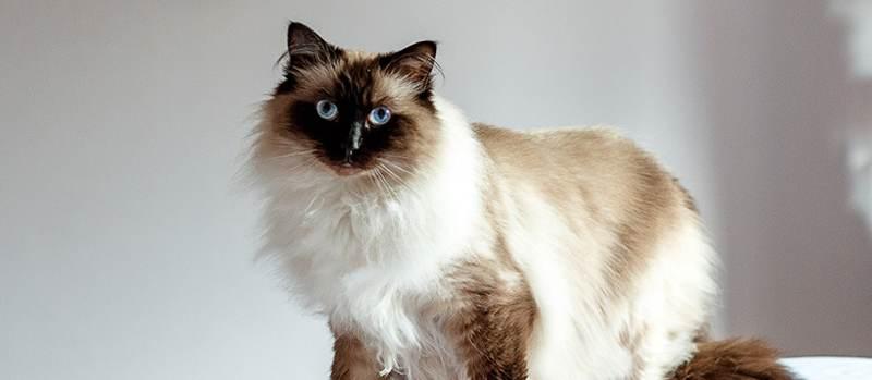 Gato de pelo largo Persa Himalayo