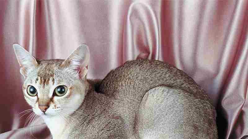 singapura raza gato