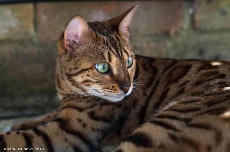 raza gato toyger
